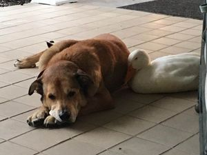 The duck that saved a heartbroken dog