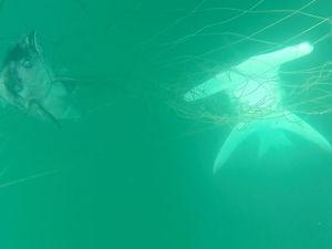 Underwater footage shows impact of shark nets