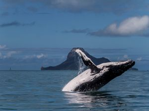 Whales play in Whitsunday waters