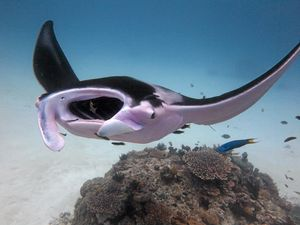 World's only pink manta ray returns