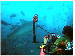 Would you pat a tiger shark like these guys?