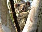 Chance to help protect Noosa's surviving koalas