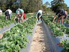 Is the backpacker tax likely to pressure farmers into failing to adhere to legal employment practices?