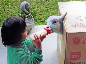 Rihanna Sriwichai, 3, feeds Billy the lamb before he was mauled by dogs.