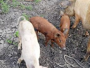 Pigs purposely run over off side of road or shot