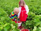 IF YOU are looking to get out into the glorious fresh air and sunshine, take the family strawberry picking for a day to remember.