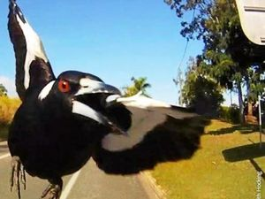 Magpie breeding season is here, so look out for swooping magpies over the next couple of months.