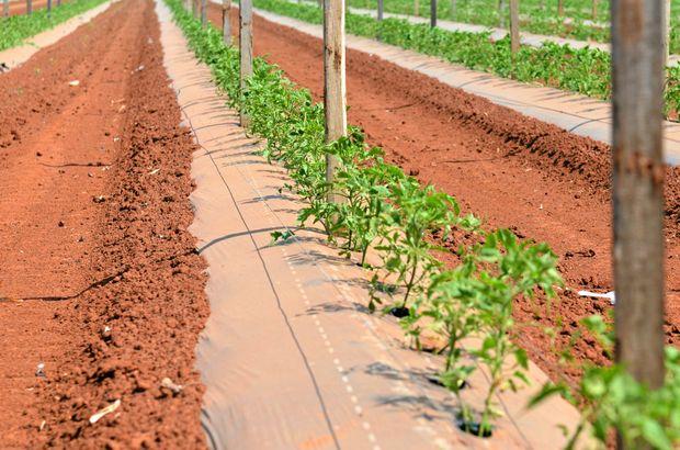 RURAL WEEKLY: A Bundaberg tomato farm.     Photo: Scottie Simmonds / NewsMail