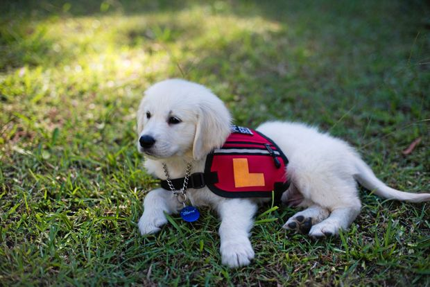 A Smart Pup Assistance Dog in training.