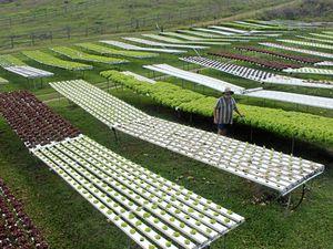 Grasstree Beach lettuce farm
