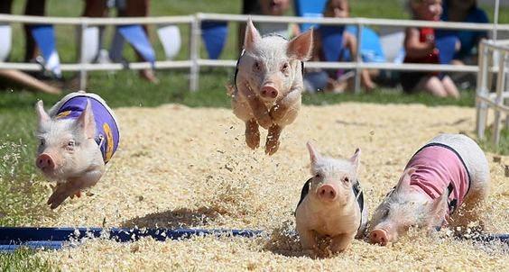 Pig races.