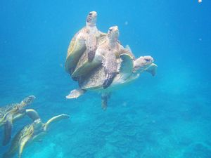 Nine males, one female; divers watch turtles get frisky