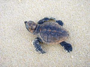 A loggerhead turtle hatchling at Sunshine Beach.