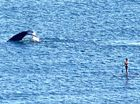 Paddle boarder gets a little too close to this mama whale
