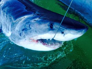 Great white tagged and released off Lighthouse Beach