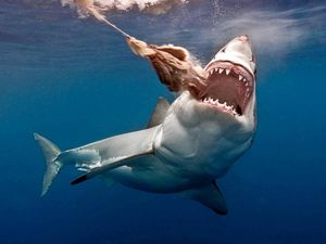 Govt ready to cull sharks