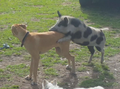 Puppy's ruff trot as besotted pig's sexy moves become a boar