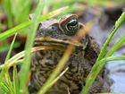 More than 100 cane toads removed from Maclean