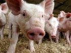 Controversial plan to establish free-range piggery deferred