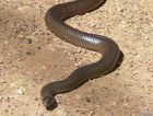 A man was transported to hospital after a suspected snake bit in Bloomsbury.