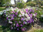 SPRING TIME: Petunia Garden Moura is a hardy plant to brighten your garden