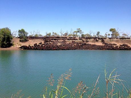 Brookston Premium Wagyu Beef's brahman-wagyu-cross cattle have a drink at the Moranbah property.