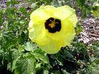 Hibiscus diversifolius.