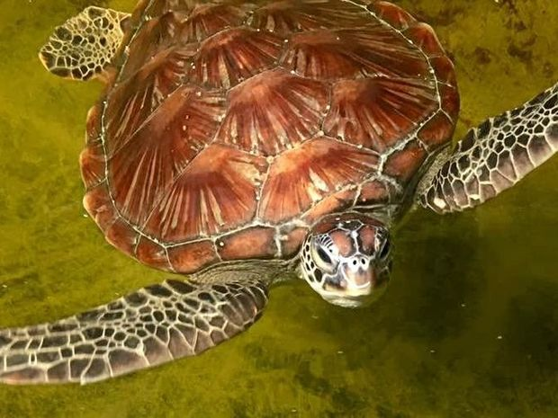 BORN FREE: Australian Seabird Rescue will be releasing Kimba the turtle at Lighthouse Beach in Ballina this Sunday.