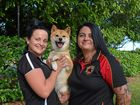 Cherry the Shiba Inu, with her owners Megan Shuttlewood (left) and Valda Goulevitch,  is a finalist in the 2016 Dog and Puppy of the Year Awards presented by Dogs Queensland.