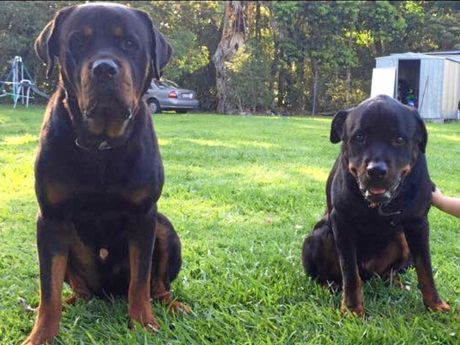 Rottweilers Suffa and Boss have been missing from North Arm since April 21.