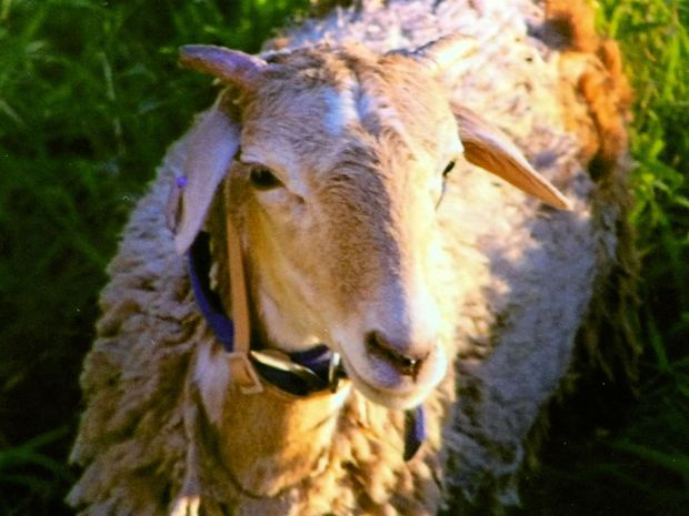 Animal welfare group PETA has offered a $5000 reward for information over the strangling of a sheep in Casino High School earlier this week. File photo.