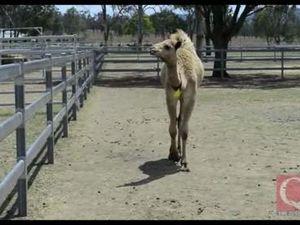 Australia's largest camel farm