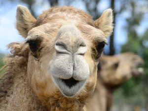 WATCH: Camel milk, anyone? Brookwater 'hiccup' and a serve for Kyrgios
