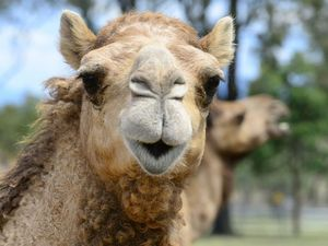 WATCH: Wild camels, Brookwater hiccup and a serve for Kyrgios