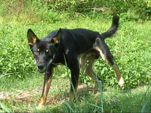 Trapper recruited to capture wallaby-killing wild dog