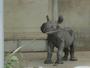 WATCH: Endangered black rhino born at Iowa zoo