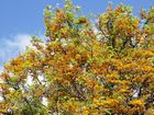 THE silky oak is one of our finest flowering natives and should not be overlooked by locals and visitors alike during the 2016 Jacaranda Festival.