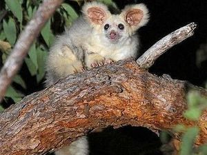 Cute critter added to vulnerable species list