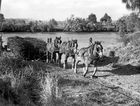A horse team hauling loaded cane trucks from a punt on to the tramline on the bank of the Maroochy River at Bli Bli, ca 1945.