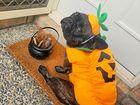 Toby the pumpkin