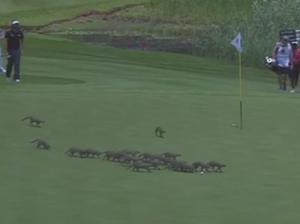 Mass Mongoose invasion at golf tournament