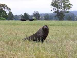 Just a little lost: NZ seal found in NSW cow paddock