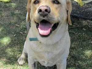 Louey the Labrador.