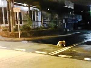 Pippa Vickery took this photo of a koala crossing the main street in Bangalow on December 6, 2016.