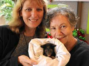 Tweed Mayor Katie Milne with Tweed Valley Wildlife Carers volunteer Jan Pilgrim. Councillor Milne rescued the baby possum, which Jan has named Carool, a few weeks ago from the middle of the road after its mother was hit by a car.