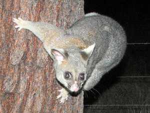 Could possum pie soon be on the dinner menu?