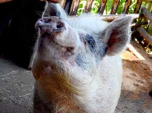 Come visit me: Polly the pig recovers from brutal attack