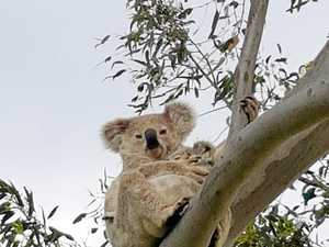 DROP BEAR: Wild koalas to be reintroduced to CQ