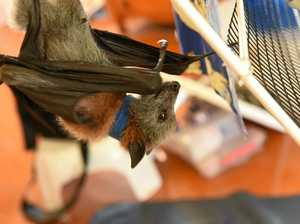 Work will begin this week to disperse a colony of flying foxes in Clermont.