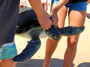 (BACK) INTO THE WILD: Green turtles Taitira and Chewie were released back into the Pacific Ocean.